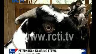AYO KAYA: SUSU KAMBING ETAWA