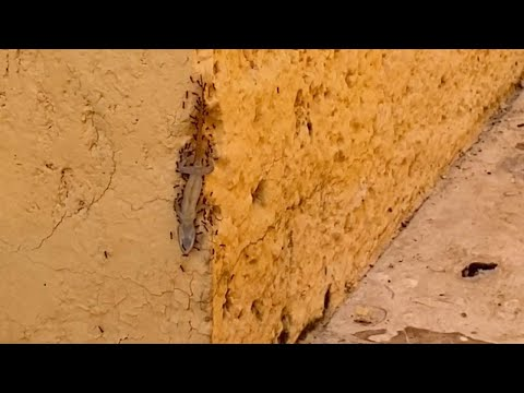 Colony Of Ants Carry Lizard Up A Wall