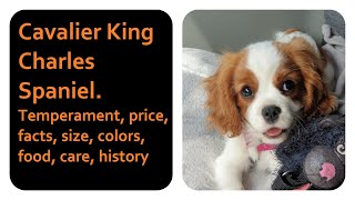 Cavalier King Charles Spaniel. Temperament, price, facts, size, colors, food, care, history