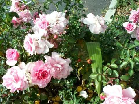 Rose Bonica.mov