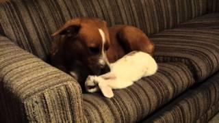 Pitbull Licking Rabbit Best Of Friends!!!