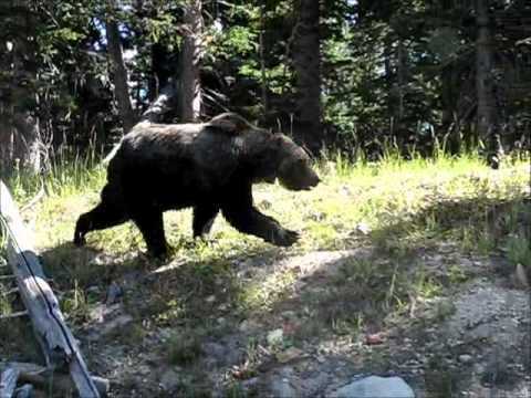 Grizzly Bear - Dunraven Pass (Yellowstone)