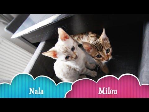 Beautiful Bengal Kitten (Milou & Nala) - 12 Weeks old
