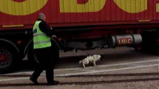 """tyson"". Springer Spaniel.  Explosive Detection Dog. Top Dog Security Ltd. Uk 14 May 2009"
