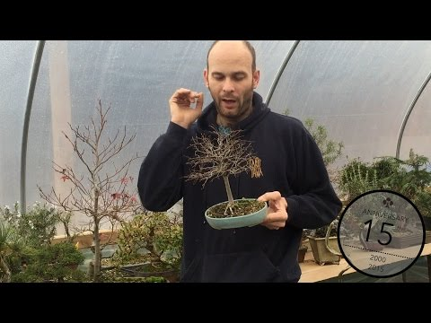 Reducing leaf size on Bonsai, Peter Warren