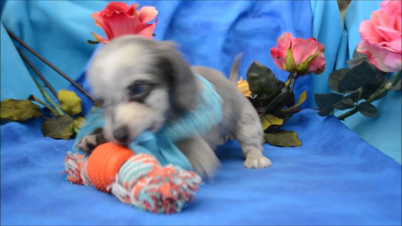 Prince Akc Blue Eyed Blue Dapple Male Lh Miniature Dachshund Puppy