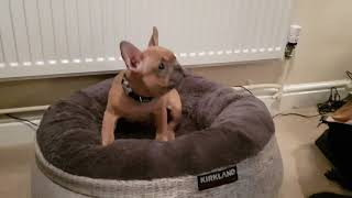 French bulldog puppy introduced to his new comfy bed.