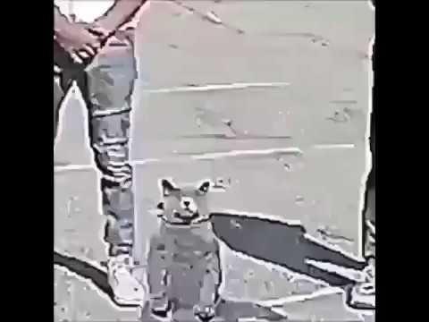 Cat Dancing To Meme