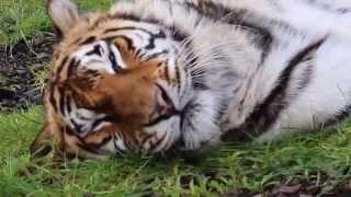 Shikana - Tiger Chuffs