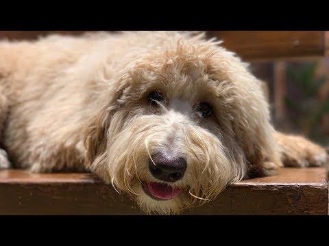 Teddi - 6 month old Doodle - Dog Training Omaha Nebraska