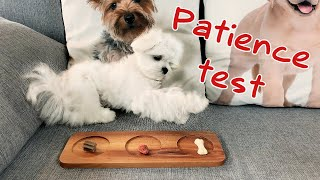 Cute Maltese puppy patience test and treats tasting  How long can he wait?