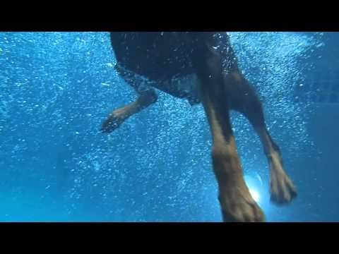 CRAZY Doberman Pinscher Nalah Dives underwater for dog toys in swimming pool