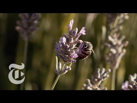 What's the Buzz About Wild Bees? | California Matters w/ Mark Bittman | The New York Times
