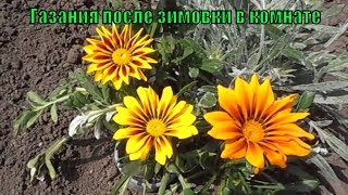видео Газания или гацания (фото) - выращивание из семян, посадка и уход в открытом грунте