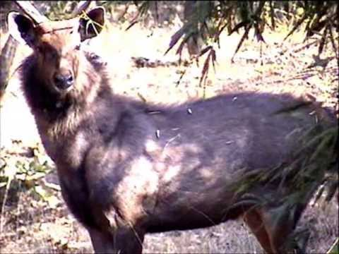 Sambar Stag & Female (Rusa unicolor) with Herd of Chital Deer of Bandhavgarh Park