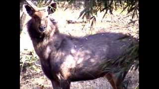 Full Grown Sambar Stag & Female with Herd of Chital Deer of Bandhavgarh Park
