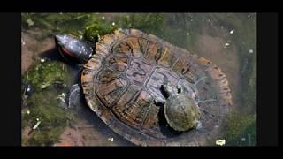 Уход и содержание Красноухой Черепахи