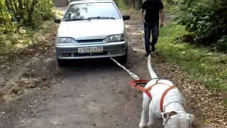 Собака тянет машину 940 кг