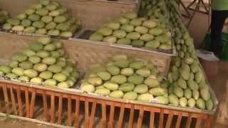 Mango Festival   Guimaras Island Manggahan Festival Philippines