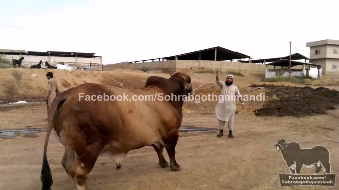 Sindh Dairy Cattle Farm Red Brahman Big Bull Youtube