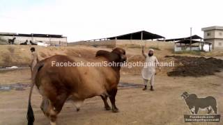 Sindh Cattle Farm Brahman Bull 2013
