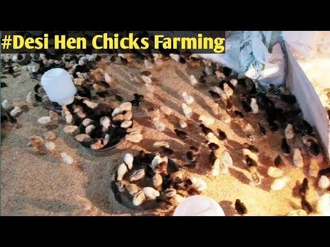 Golden Misri Hatchery In Karachi