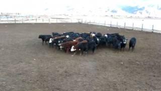 Richard Nielson Kelpie Cow Dog Working