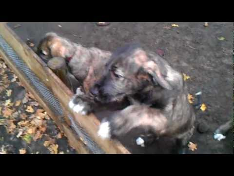 Irish Wolfhound Puppies - 8 weeks old