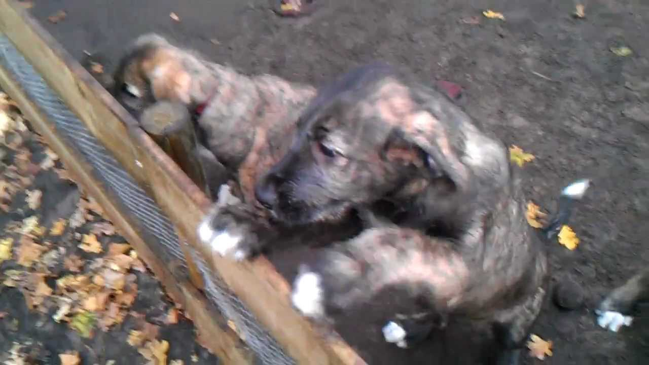 Irish wolfhound puppies 8 weeks old youtube geenschuldenfo Image collections