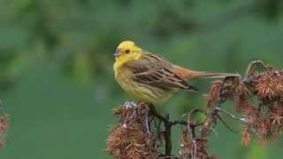Yellowhammer song and plumage care