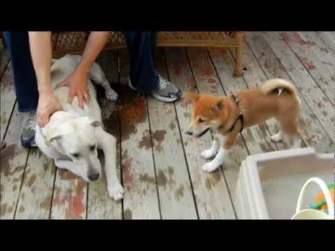 Shiba Inu Puppy Milo Meets Gibson