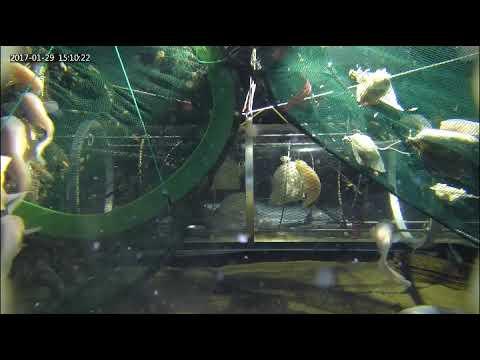 Рыба-слизень отказалась от цельного черепа, чтобы выжить в Марианской впадине