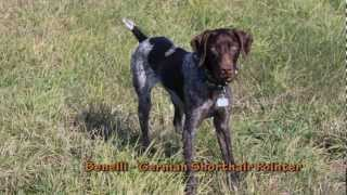Benelli - German Shorthair Pointer Puppy