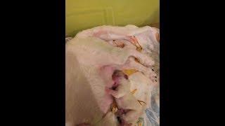 Первые щенки,много молока у мамы, придумала молокоотсос,  разрабатываем грудь.