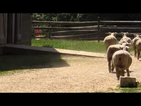 Sheep at Longstreet Farm, New Jersey