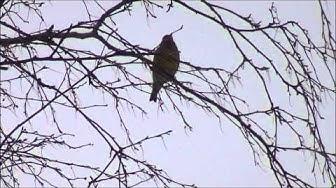 Viherpeippo ( Carduelis chloris ) visertää, laulu, ääni