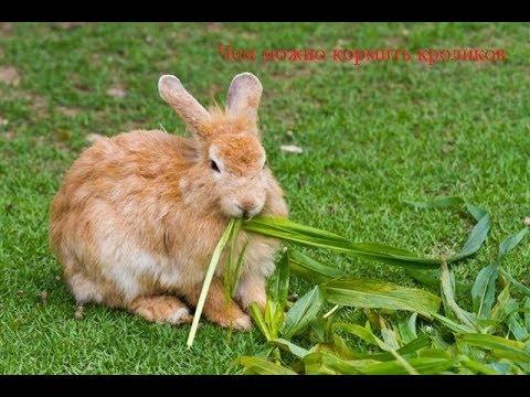 Вопрос: Сколько раз в день нужно кормить кроликов?