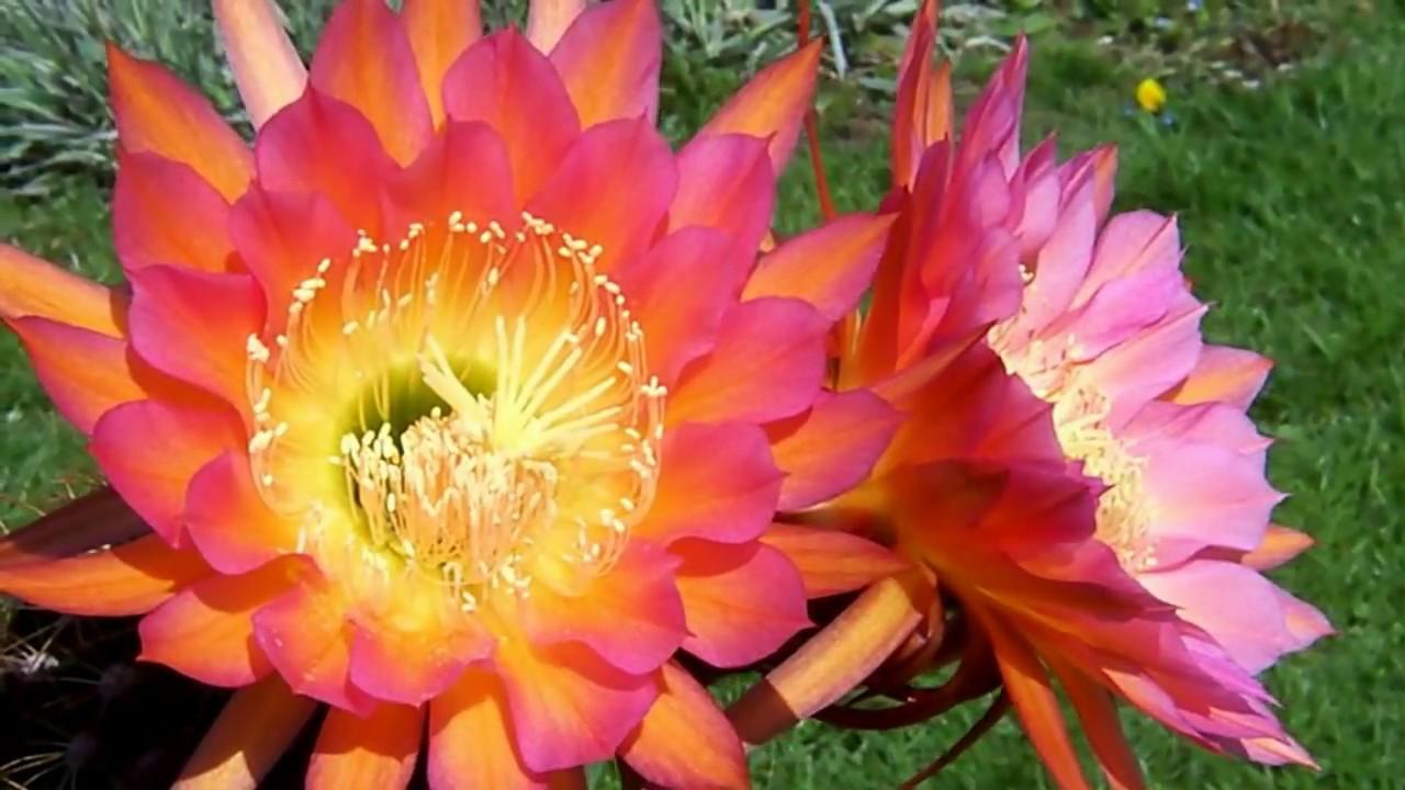 Flowering Trichocereus Orange California In Summer Flowering Cacti