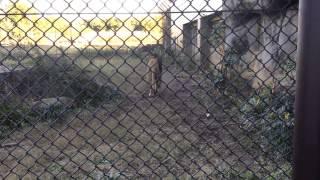 ライオンの鳴き声 緒方剛志 検索動画 3
