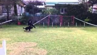 セラピードッグスクール沖縄所有犬、ミライの第一子。 1才8ヶ月(♂)幸...