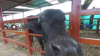 Bull's lick 3D