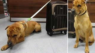 Kai, The Dog Is Abandoned   Railway Station A Suitcase Containing Pillow, Toy, Bowl  Favorite Food
