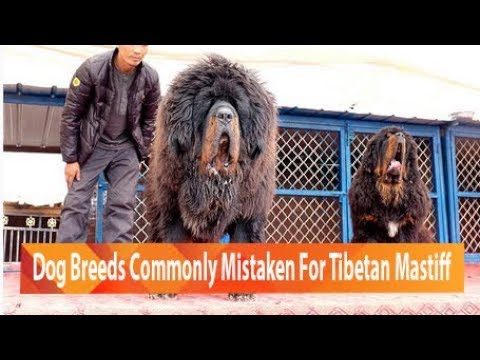 Dog Breeds Commonly Mistaken For Tibetan Mastiff