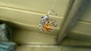 Garden spiders mating ~EPIC SEX FAIL~ Kills and eats Male - Black Widow like