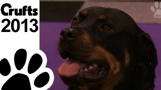 Rottweiler Rescue Breed - Crufts 2013