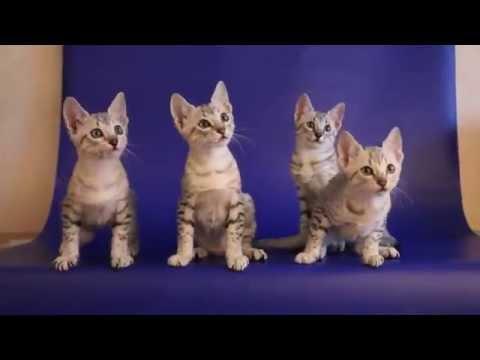 Котята Египетского мау.