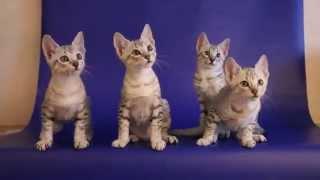 Котята египетского мау