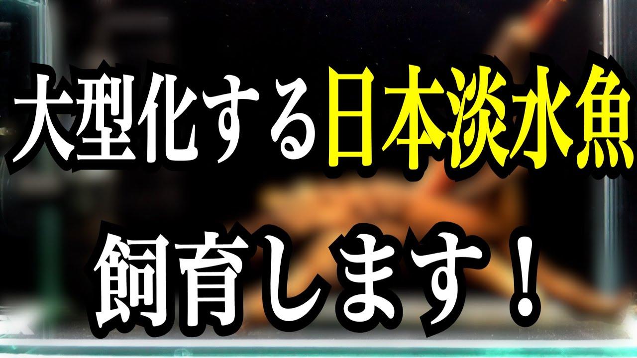 大型化する日本淡水魚の飼育!