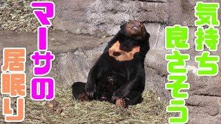 マレーグマ、マーサの居眠り Sun Bear, doze of Martha