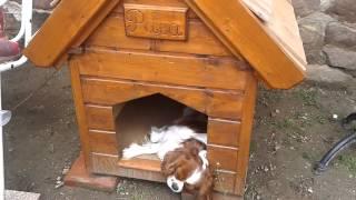 Cavalier King Charles Spaniel - My House :) - [paca]